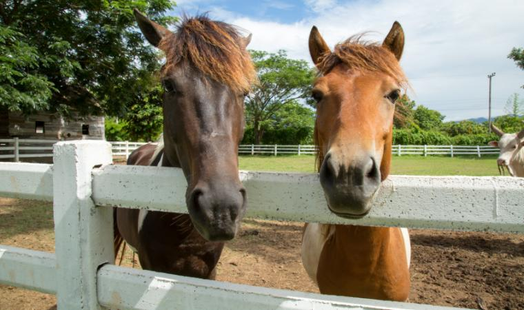 Two horses looking over a fence